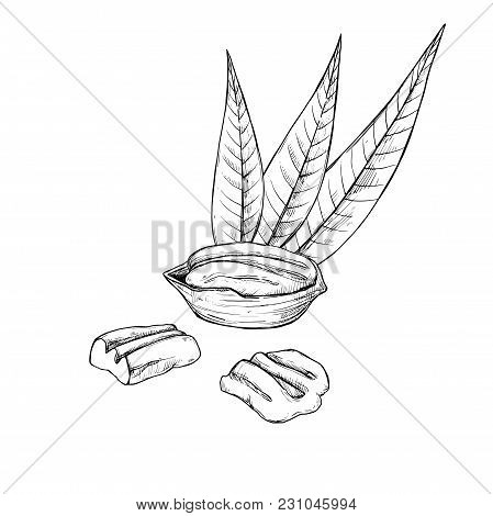 Pecan  Isolated On White Background. Engraved  Illustration Of Leaves And Nuts Of Pecan.