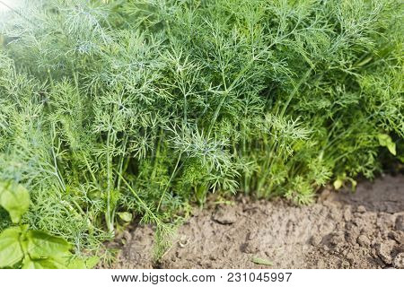 Dill Growing In The Ground.green Dill Is Growing In A Kitchen Garden.