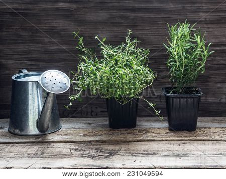 Rosemary And Thyme In Pots And A Metal Watering Can On A Wooden Background. Raw Herbs In Pot. Garden