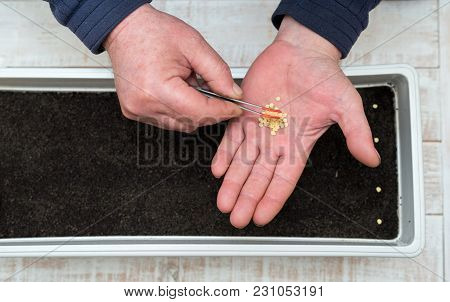 Farmer`s  Hand Holding Tweezers Precisely Planting Seeds For Pepper Seedlings