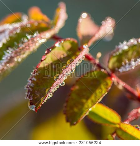 Leaves Of The Plant Are Covered With Drops Of Water And Frost. October, Autumn Season.