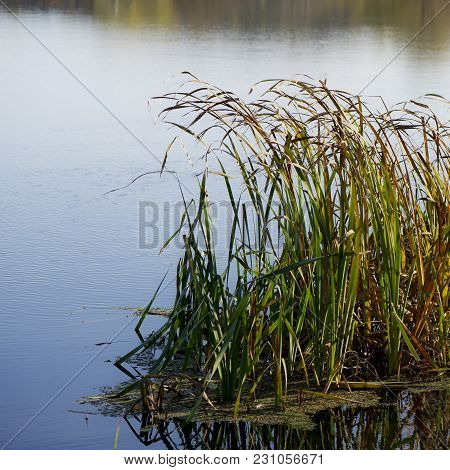 Reeds On The River Bank On A Sunny Day. October, Autumn Season.