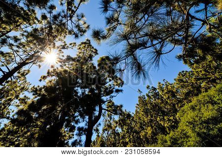 Very High Pine Wood Forest On A Sunny Day