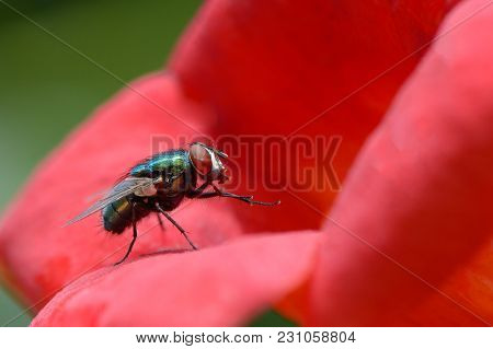 Big very beautiful blowfly on red flower