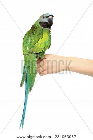 Green Parakeet On A White Background