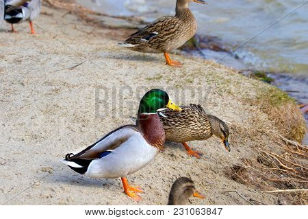 Image Of A Wild Drake And Ducks On The River Bank