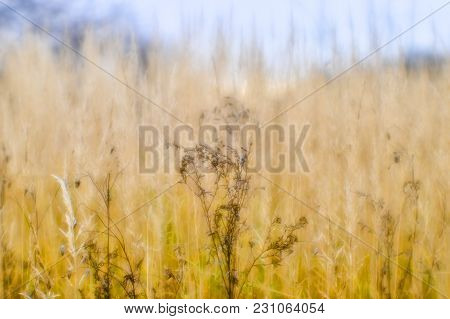 Soft Background Blur Of Dry Grass In The Fall. Closeup Of Wheat Ears Background. Shallow Depth Of Fi