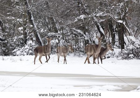 Group Of Hinds On Snow (red Deer Female)