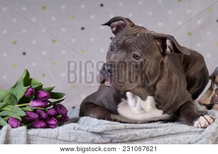 Staffordshire Terrier Potrait At Studio Lying With Purple Tulips Bouquet