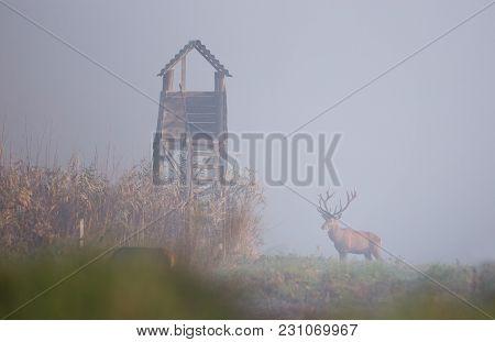 Red Deer In Reed Field