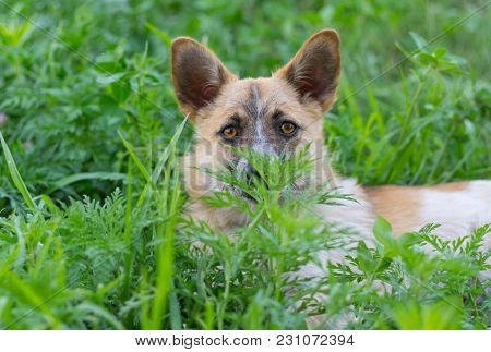 Portrait Of Cute Small Mixed Breed Dog Looking Out Of The Grass It Hiding