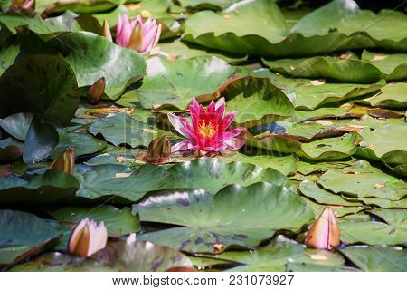 Water Lilies And Green Leaves On The Pond