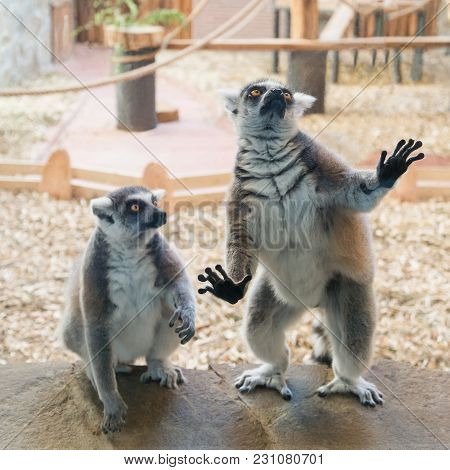 Two Interesting Tailed Lemur On Brown Stone Plate