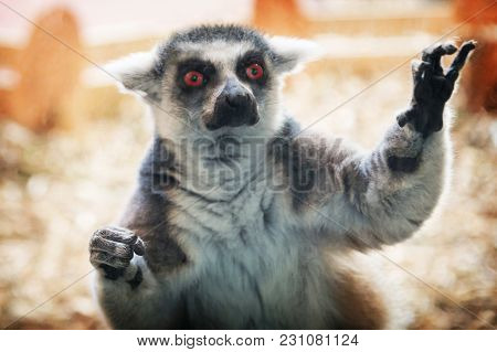 One Lemur, Angry Inadequate After Experiments On Animals