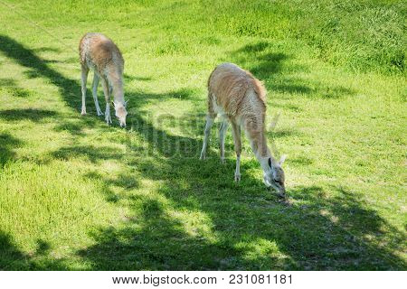 Two Lamas In Prairie Grassland On The Pasture