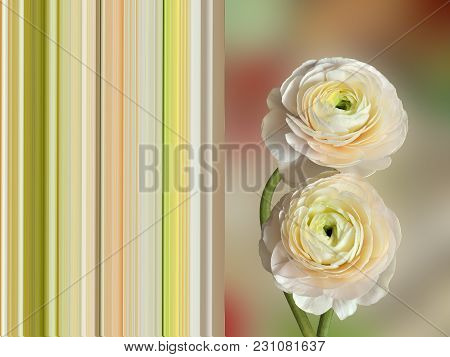 Two Delicate Pale-pink Ranunculus Flowers Close Up - Spring Postcard Concept With Complementing Stri