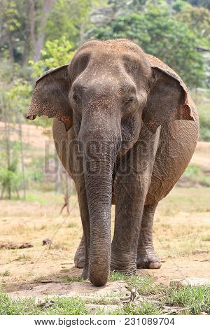 Asian Elephant Elephas Maximus In Pinnawala Orphanage Sri Lanka