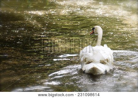 Beautiful Mute Swan (cygnus Olor) Swimming On A Lake With Sunlight Shimmering On The Water - With Co