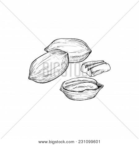 Pecan Vector Isolated On White Background. Engraved Vector Illustration Of Leaves And Nuts Of Pecan.