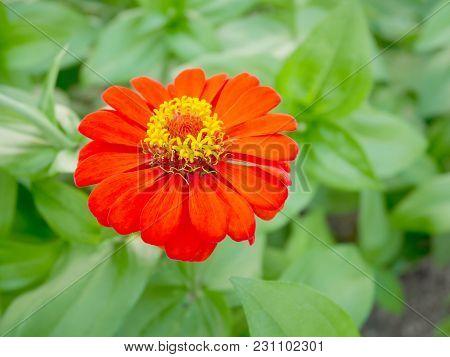 Orange Zinnia Flower Blooming In The Garden
