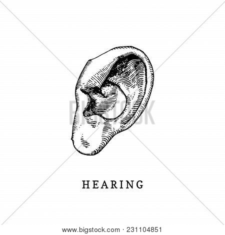 Hand Drawn Icon Of Human Sense Of Hearing In Engraved Style. Vector Illustration Of Mans Ear.