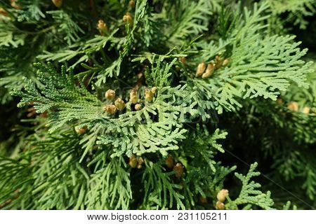 Flat Green Leaves Of Thuja Occidentalis With Cones