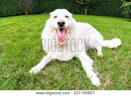Maremma Sheepdog Lying Down On The Grass.