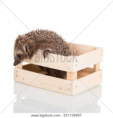 Grey Prickly Hedgehog Trying To Get Out Of The Wooden Box, Isolated On White Background