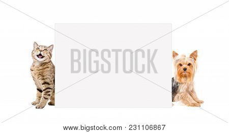 Cat Scottish Straight And Yorkshire Terrier, Sitting Behind Banner, Isolated On White Background