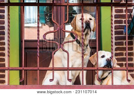Labradors Retriever Purebred Outside On The Balcony.