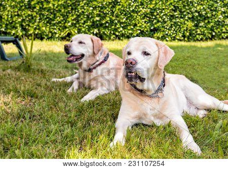 Closeup Of Senior Labrador Retriever Lying On The Grass In The Garden.