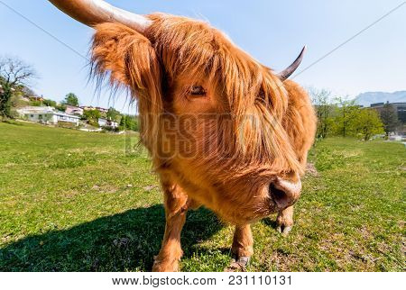 Portrait Of Red Scottish Highland Cow On The Lawn.