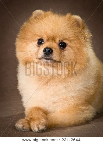 Pomeranian spitz-dog in studio