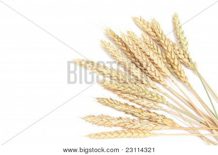 Bunch Wheat