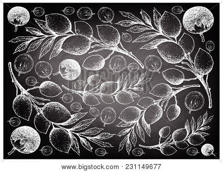 Tropical Fruit, Illustration Wall-paper Background Hand Drawn Sketch Of Star Apple Or Chrysophyllum
