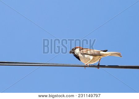 Sparrow On A Wire Against A Blue Sky .