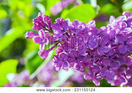 Summer Background With Blooming Lilac Flowers. Blooming Lilac Flowers Lit By Sunlight. Selective Foc