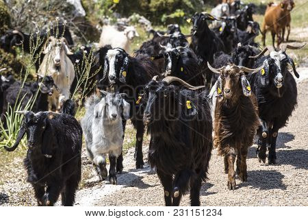 A Herd Of Goats Going To The Pasture Along A Mountain Road In Asia.