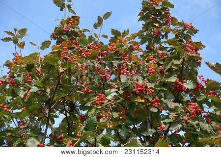 Red Berries On Branches Of Whitebeam In Autumn
