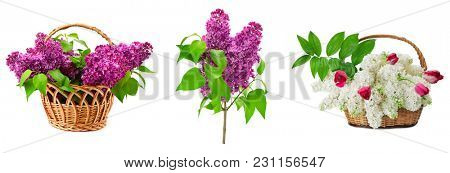 Set lilacs in basket isolated on white background.