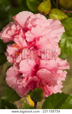 Pink Hibiscus Flowers In Thailandwith A Water Drops