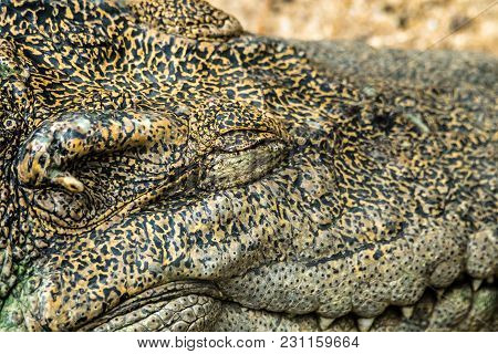 Close Up - Big Crocodile Face - Closed Eyes