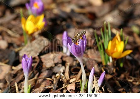 Macro Of A Bee With Pollen Bags On Crocus In Spring.