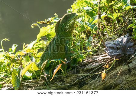 Closeup Slider Of The Chinese Water Dragon At Khao Yai National Park, Thailand. Stock Footage Shot A