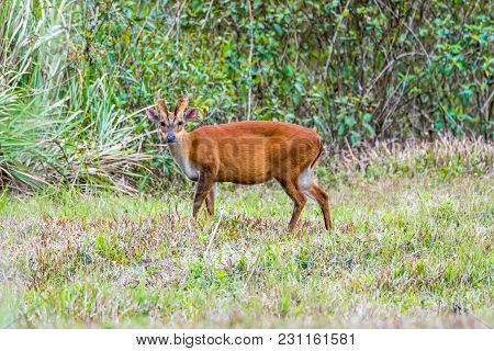 The Indian Muntjac Or Common Muntjac Or Barking Deer Gazing In Khao Yai National Park, Thailand.