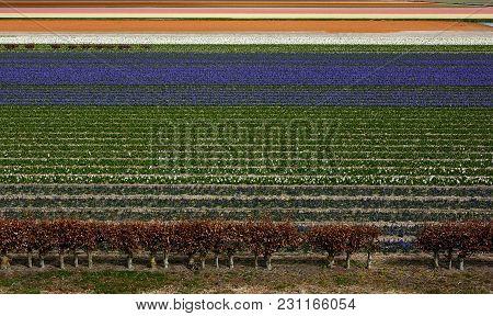 Field Of Tulip Flowers. Trees And Tulip Flowers Field In Spring. Keukenhof, Netherlands, Europe.