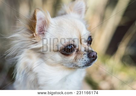 Portrait Of Cute Small Dog Chihuahua. Green Grass On Background. Nice Looking Healthy Dog.