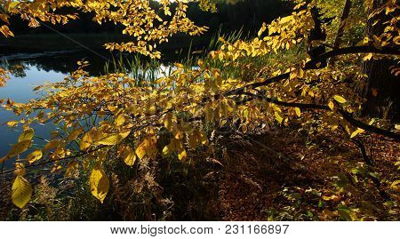 Golden Leaves Of The Trees On The Shore Of The Autumn Lake