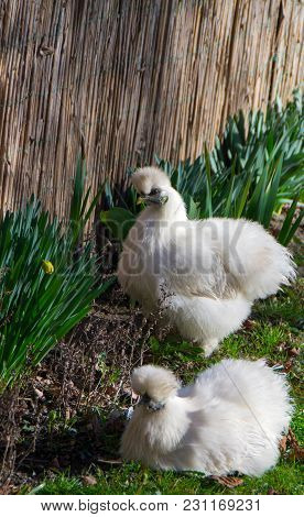 The Silkie Is A Breed Of Chicken Named For Its Atypically Fluffy Plumage, Which Is Said To Feel Like