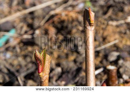Bud, Awakening Plants In The Spring. Bud Of Wood.